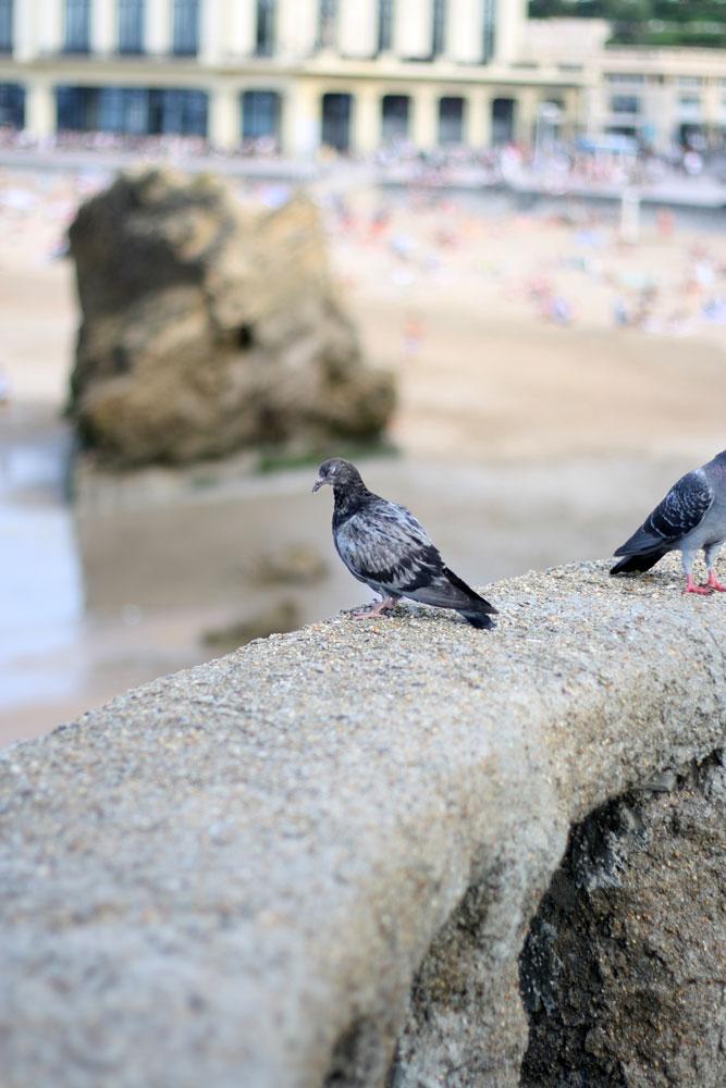 biarritz_taube